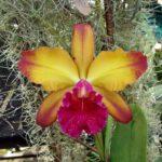 Rlc.Oro Verde Victoria (Cattleya Pão de Açúcar x Rhyncholaeliocattleya Tainan Gold)