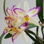 Rth.Oro Verde Finura  (Rlc.Haw Yuan Beauty x Ctt.Orquidacea's Instante Mágico) registrado el 01/02/2012 y realizado por E.Verástegui