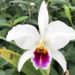 Cattleya percivaliana 'Farah Diba'