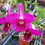 Cattleya purpurata var sanguinea 'Tiago'